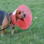 Oormijt hond Afbeeldingen 7